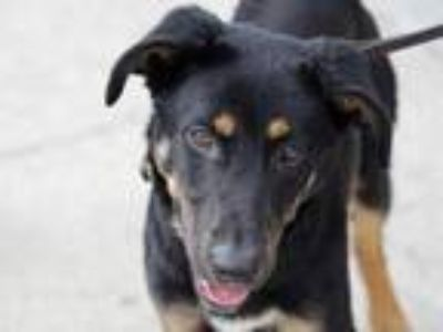 Adopt Apollo a Black Mixed Breed (Large) / Mixed dog in Georgetown
