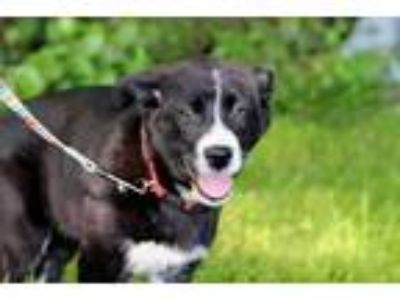 Adopt PUPPY BINDI a Black - with White Labrador Retriever / Mixed dog in Spring