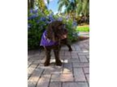 Adopt Dinusha a Brown/Chocolate Cocker Spaniel / Mixed dog in Cape Coral