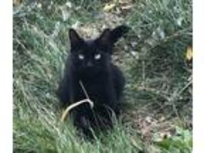 Adopt Charlotte a All Black Domestic Shorthair / Mixed cat in Idaho Falls