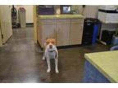 Adopt Found stray: Champ a White American Staffordshire Terrier / Mixed dog in