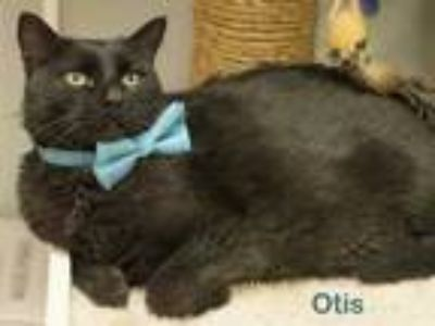 Adopt Otis a All Black Domestic Shorthair / Domestic Shorthair / Mixed cat in