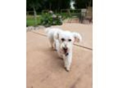 Adopt Claudius a White Poodle (Miniature) / Mixed dog in Whitewater