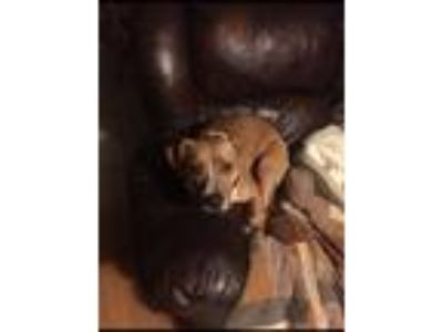 Adopt Lyna a Brown/Chocolate - with White American Pit Bull Terrier / Mixed dog