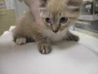 Adopt Christina a White Domestic Shorthair / Domestic Shorthair / Mixed cat in