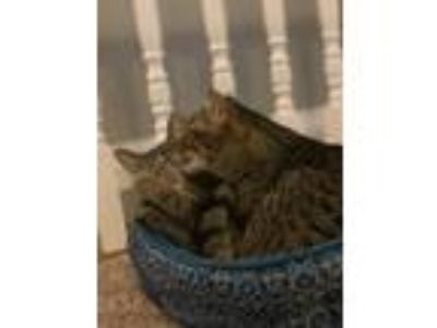 Adopt Twix a Domestic Shorthair / Mixed (short coat) cat in Valley Park