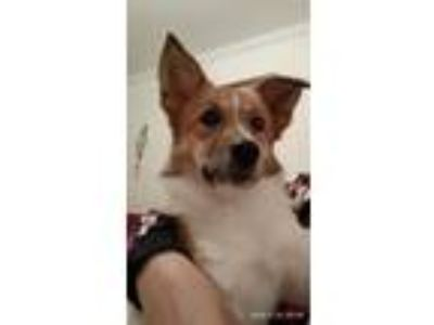 Adopt 'MOLLY' a White - with Brown or Chocolate Jindo / Corgi / Mixed dog in