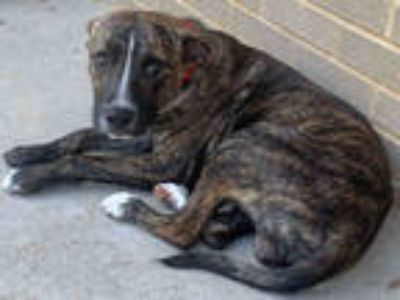 Adopt a Brindle - with White American Pit Bull Terrier / Mixed dog in Dallas