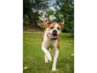 Adopt Squishy - Foster Needed a Boxer