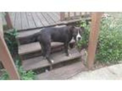 Adopt Ace a Black - with White Bull Terrier / American Pit Bull Terrier dog in