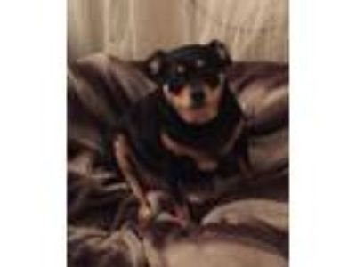 Adopt Junior a Tricolor (Tan/Brown & Black & White) Miniature Pinscher /