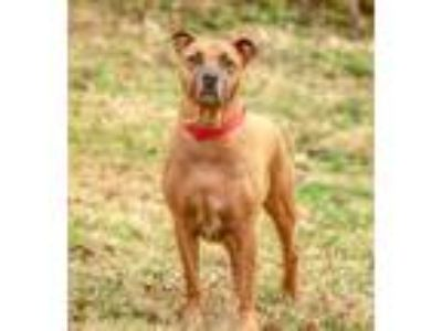 Adopt STITCH a Tan/Yellow/Fawn Great Dane / Mixed dog in Franklin, TN (24133426)