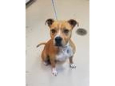 Adopt Tiffany a Red/Golden/Orange/Chestnut - with White Pit Bull Terrier / Mixed