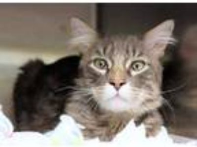 Adopt Husky a Gray or Blue Domestic Shorthair / Domestic Shorthair / Mixed cat