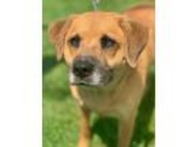 Adopt Zara a Tan/Yellow/Fawn Australian Shepherd / Mixed dog in Chester Springs