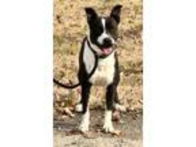 Adopt Snoopy-young, great with kids, socialized a Pit Bull Terrier