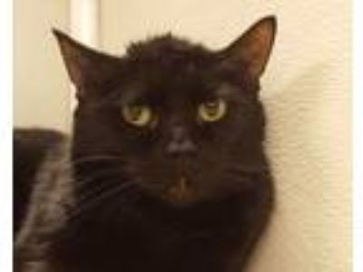 Adopt Tootsie Roll a All Black Domestic Shorthair (short coat) cat in Grayslake