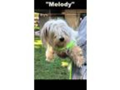 Adopt Melody a White Shih Tzu / Mixed dog in Denison, TX (25304741)
