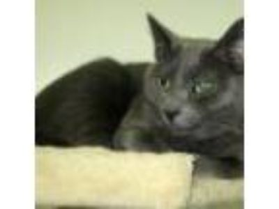 Adopt Katayna a Gray or Blue Domestic Shorthair (short coat) cat in Powell