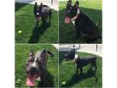Adopt Chance a Pit Bull Terrier