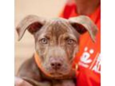 Adopt Alabaster a Pit Bull Terrier
