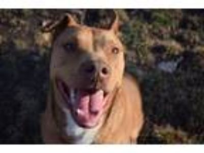 Adopt Bella a Pit Bull Terrier, Staffordshire Bull Terrier