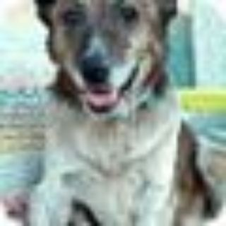 PJ American Staffordshire Terrier - Australian Cattle Dog / Blue Heeler Dog