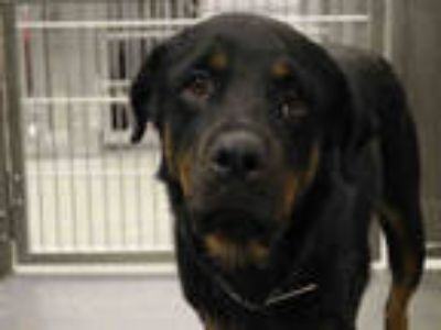 Adopt STRAY a Black - with Tan, Yellow or Fawn Rottweiler / Mixed dog in Dallas