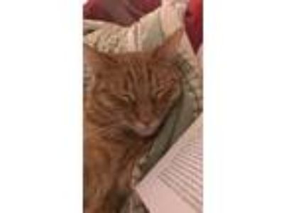 Adopt Charlie Brown a Orange or Red American Shorthair / Mixed cat in Menifee