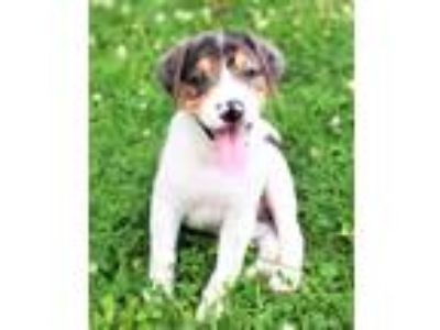 Adopt Atlas a Merle Hound (Unknown Type) / Mixed dog in Shorewood, IL (25889733)