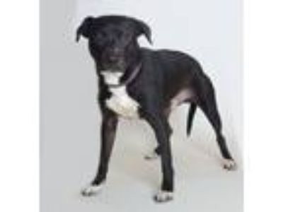 Adopt Captain a Pit Bull Terrier, Mixed Breed