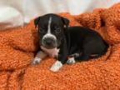 Adopt pit mix puppies a Pit Bull Terrier, Mixed Breed