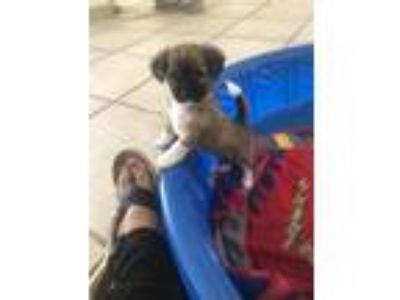 Adopt Chrissy a Brown/Chocolate - with Black Papillon / Terrier (Unknown Type
