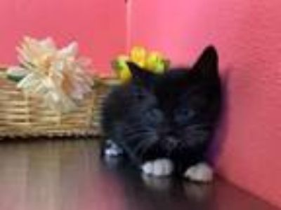 Adopt DAVID a Domestic Short Hair