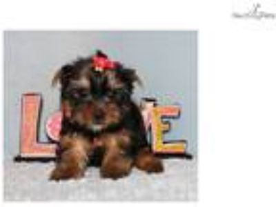 Micro Tiny Teacup Yorkie Puppy Girl (Penny)
