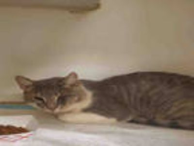 Adopt 865904 a Gray or Blue (Mostly) Domestic Shorthair / Mixed (short coat) cat
