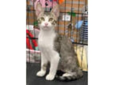 Adopt Pepper Potts a Tabby, Domestic Short Hair