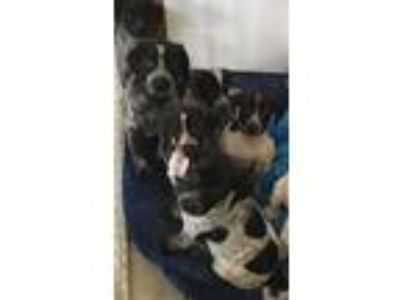 Adopt New puppies! a German Shorthaired Pointer / Mixed dog in Bloomington