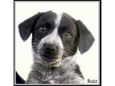 Adopt Buzz a Black Terrier (Unknown Type, Small) / Mixed dog in Sullivan