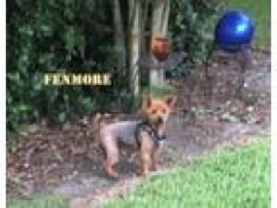 Adopt Fenmore a Norwich Terrier, Mixed Breed