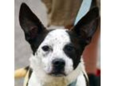 Adopt Harris a Australian Cattle Dog / Blue Heeler, Border Collie