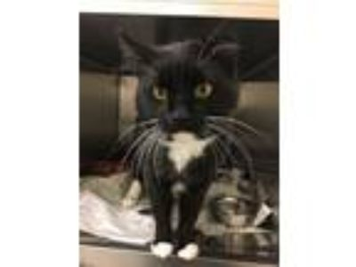 Adopt Francis a Domestic Short Hair, Tuxedo
