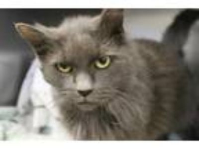Adopt SQUEAKS a Gray or Blue Domestic Shorthair / Mixed (short coat) cat in