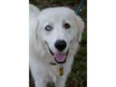 Adopt Esther a Great Pyrenees, Australian Shepherd