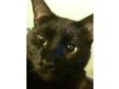 Adopt Cry Baby a Black (Mostly) Bombay (short coat) cat in Memphis