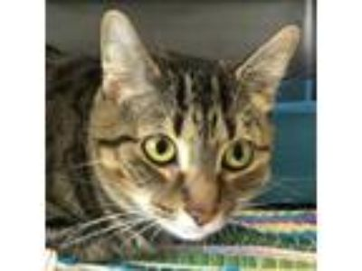 Adopt Pepita - Chowhound Eastern a Brown or Chocolate Domestic Shorthair cat in
