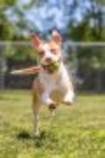 Piglet Pit Bull Terrier Dog