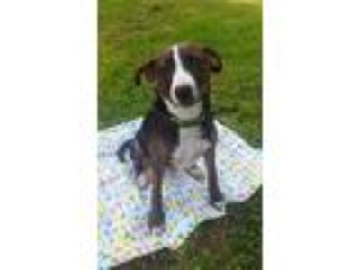 Adopt Racer a Black - with White Feist / Terrier (Unknown Type