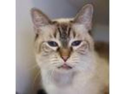 Adopt Tweety a Domestic Short Hair, Siamese