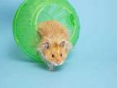 Adopt MALINE a Brown or Chocolate Hamster / Mixed small animal in Phoenix